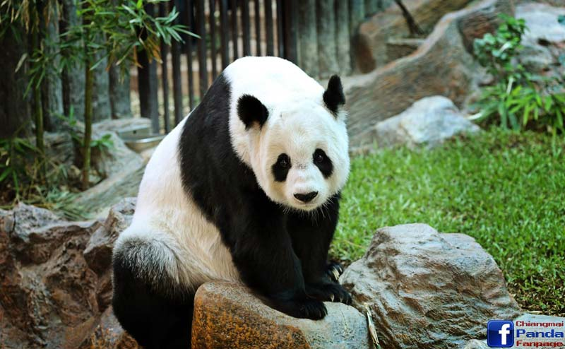 chiangmai-zoo-panda-3