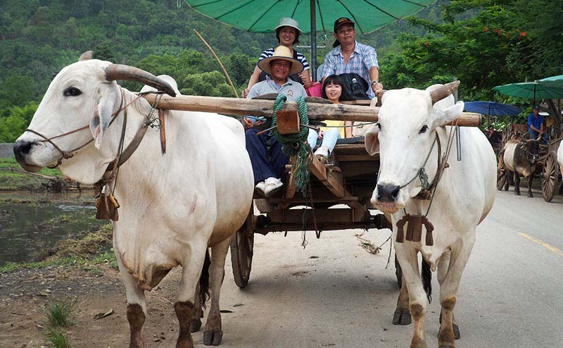 ox-cart-riding-chiangmai