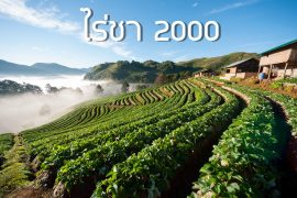 ไร่ชา 2000